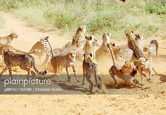 Geparden - p887m1124786 von Christian Kuhn