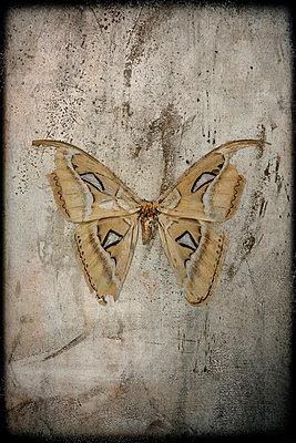 Atlasspinner - p1028m972621 von Jean Marmeisse