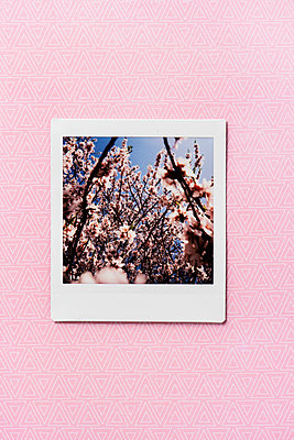 Cherry blossom - p1423m2063631 by JUAN MOYANO