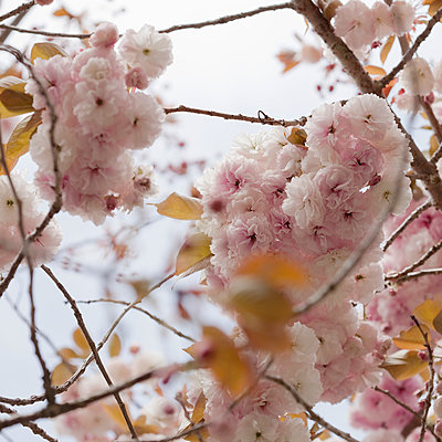 Japanese Cherry blossoms - p495m902854 by Jeanene Scott