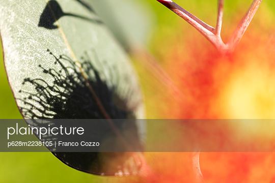 Australia, Eucalyptus Flower - p628m2238105 by Franco Cozzo