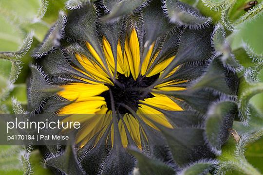 Sonnenblume - p4170194 von Pat Meise