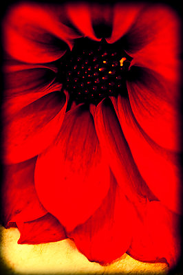 Close-up of red dahlia flower - p1047m967963 by Sally Mundy