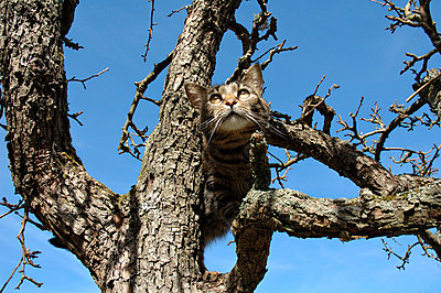 Low angle view of a cat on a bare tree against clear blue sky - p1025m780009f by Björn Andrén