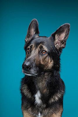 German shepherd - p1076m952343 by TOBSN