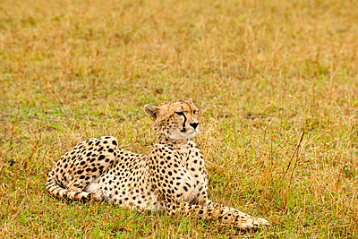 Cheetah in Kenya - p5330366 by Böhm Monika