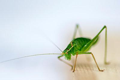 Grasshopper - p739m931406 by Baertels
