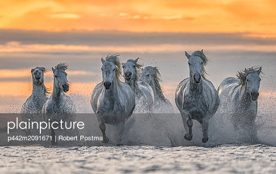 White horses of Camargue running out of the water; Camargue, France - p442m2091671 by Robert Postma