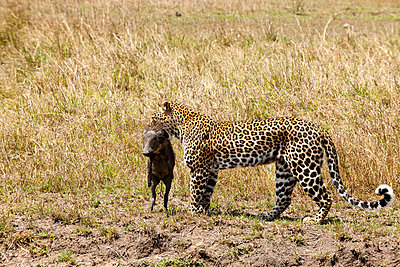 Cheetah with dead pig - p5330380 by Böhm Monika