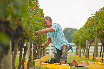 Caucasian farmer picking grapes in vineyard - p555m1454127 by Mark Edward Atkinson/Tracey Lee