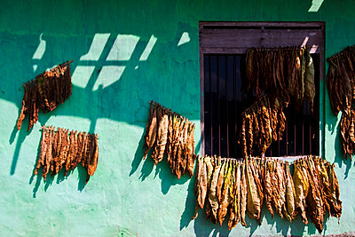 Drying leaves on a green wall, Java - p934m1022317 by Dominic Blewett