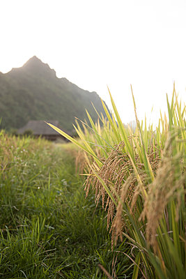 A crop of rice ready to be harvested. Yen Bai province, Vietnam, Southeast Asia - p934m893193 by Matthew Dakin