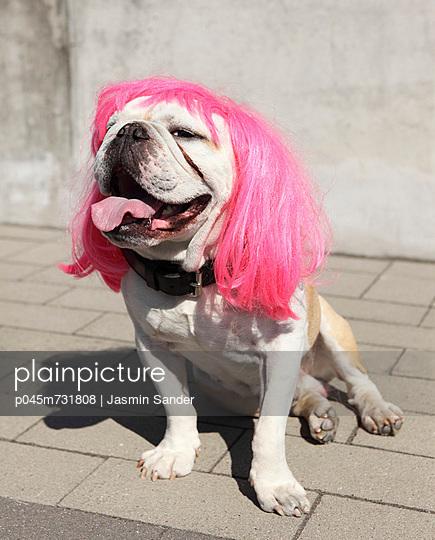 Bulldog with wig - p045m731808 by Jasmin Sander