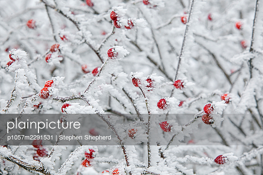 Bright red rosehip berries in the british countryside covered in a hard rime or hoar frost in the hedgerows in the depths of a british winter. - p1057m2291531 by Stephen Shepherd