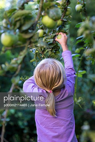 Back view of little girl picking apple from tree - p300m2114465 von Jana Fernow