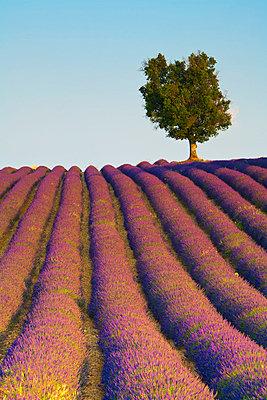 Lavender Field, Provence-Alpes-Cote d'Azur, France - p6511177 by Doug Pearson photography