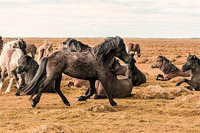 Herde Islandpferde - p947m1586611 von Cristopher Civitillo