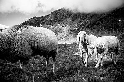 Schafe_schwarz-weiß - p1357m1362710 von Amadeus Waldner