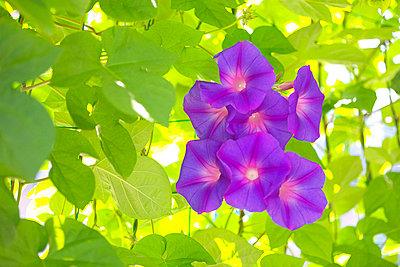 Morning glories, Kanagawa prefecture, Japan - p5147691f by iplan
