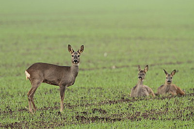 Roedeer  alert for danger - p1144m967368 by Dick Pasman