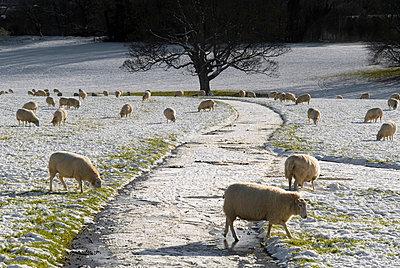 Schafe im Schnee - p1562m2164349 von chinch gryniewicz