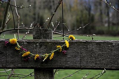 Löwenzahnkranz hängt über Holzzaum - p1650m2230886 von Hanna Sachau