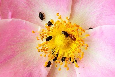 Beetles on flower - p324m1537858 by Alexander Sommer