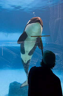 Orca And Window Washer At A Marine Park, Ontario, Canada - p442m935984 by Darwin Wiggett