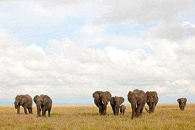 Clouds over elephant flock - p5330236 by Böhm Monika