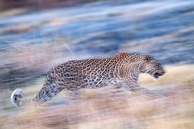leopard movement, Okavango Delta, Botswana, Africa - p651m2271084 by Paul Joynson Hicks photography