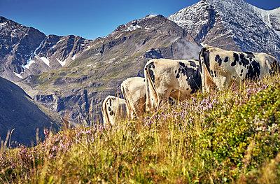 Herde Kühe vor Gebirgskette - p704m1476006 von Daniel Roos