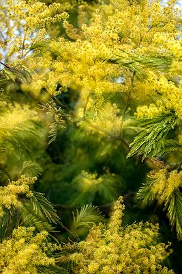 Mimosa bush - p915m1332798 by Michel Monteaux