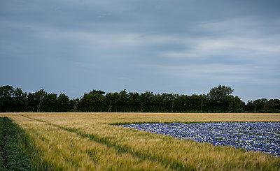 flowers and cornfield - p1132m1486825 by Mischa Keijser