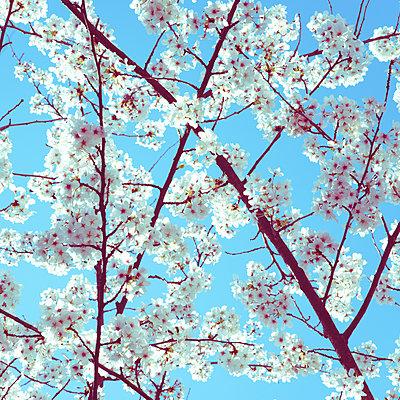 Cherry blossom - p401m2260556 by Frank Baquet