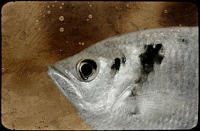 Schützenfisch - p4500319 von Hanka Steidle
