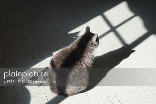 Grey Cat sitting in the shadow of a window  - p1610m2181463 by myriam tirler