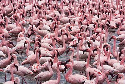 Lesser flamingos - p1100m887968f by Art Wolfe
