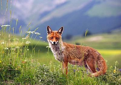 Fuchs - p26813360 von Rudi Sebastian