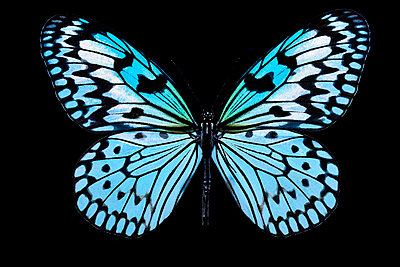 Blue white butterfly - p587m2115432 by Spitta + Hellwig