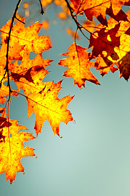 Autumn leaves - p647m1113091 by Tine Butter