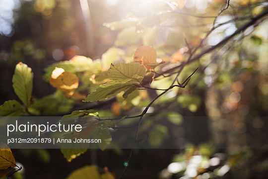 Branches with leaves - p312m2091879 by Anna Johnsson