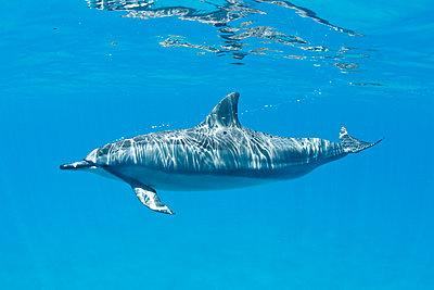 Hawaii, Lanai, Hulopoe Bay, Spinner Dolphin (Stenella Longirostris) Underwater Near Ocean Surface. - p442m934851 by Makena Stock Media