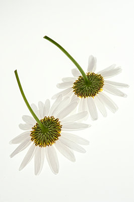 Two flowers - p971m1462959 by Reilika Landen
