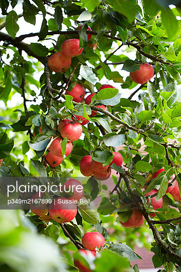 Red apples ripening on a tree in garden  UK - p349m2167899 by Sussie Bell