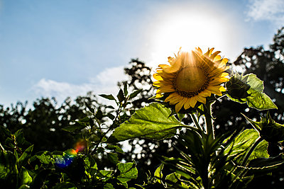 Low angle view of sunflower growing in garden against sky - p1166m1186013 by Cavan Images