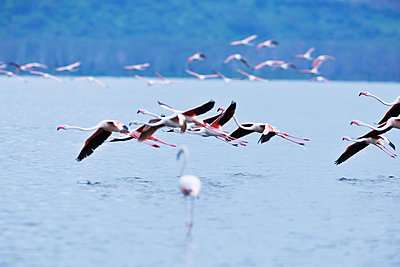 Flying Flamingos - p533m1152677 by Böhm Monika