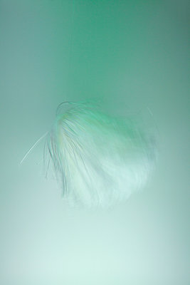Feather-light against pastel green background - p1322m1585042 by Marie-Therese Cramer