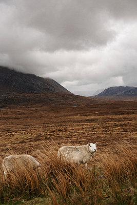 Schafe im schottischen Hochland - p1477m2038982 von rainandsalt