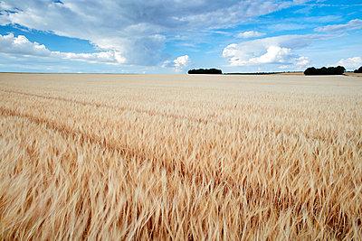 Barley field  - p719m1446424 by Rudi Sebastian
