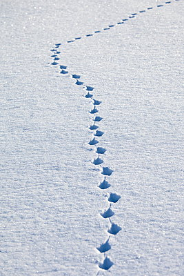 Animal pawprints in the snow in arctic landscape at Kvaløysletta, Kvaloya Island, Tromso in Arctic Circle Northern Norway - p871m895833 by Tim Graham